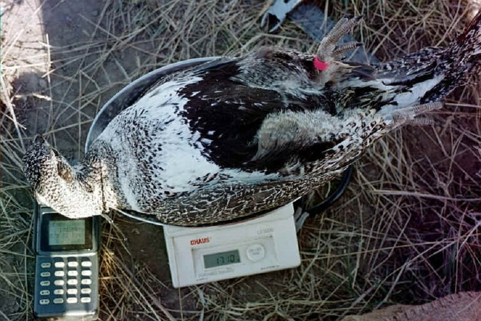 Photo of female sage grouse being weighed on scale.