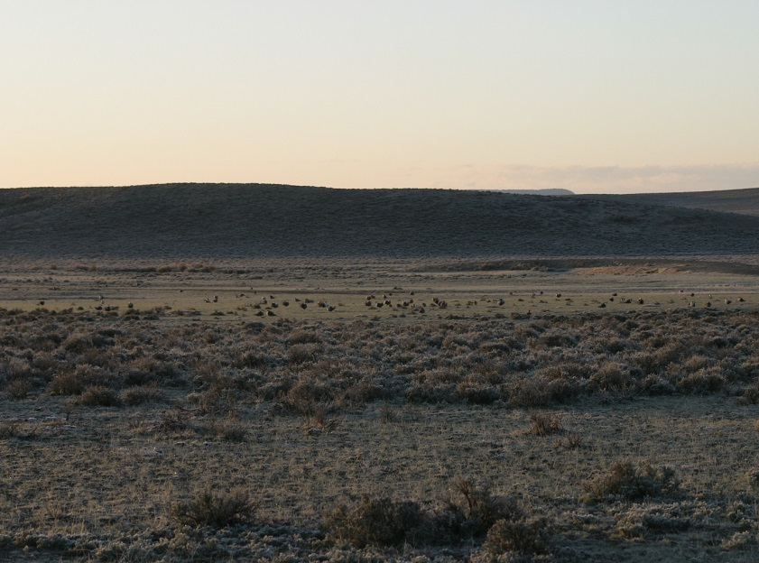 Photo of sage grouse at a lek in Wyoming.