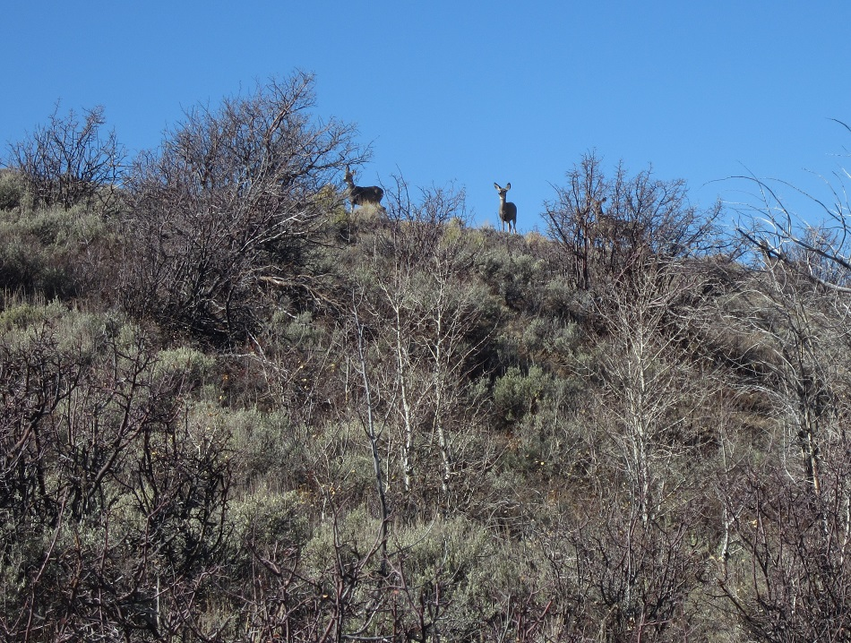 Photo of mule deer standing on crest of hill in mixed mountain shrub habitat.