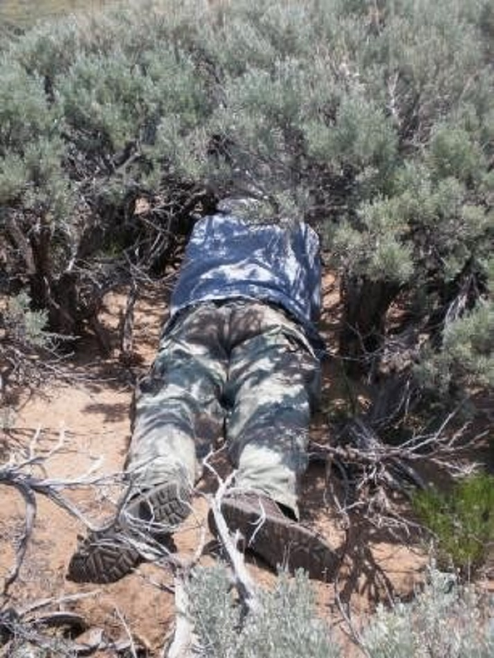 Photo of biologist searching under sagebrush for signs of pygmy rabbit occupancy.