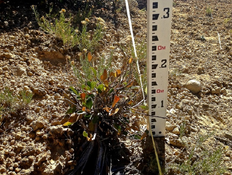 Photo of small shrub and measuring stick.