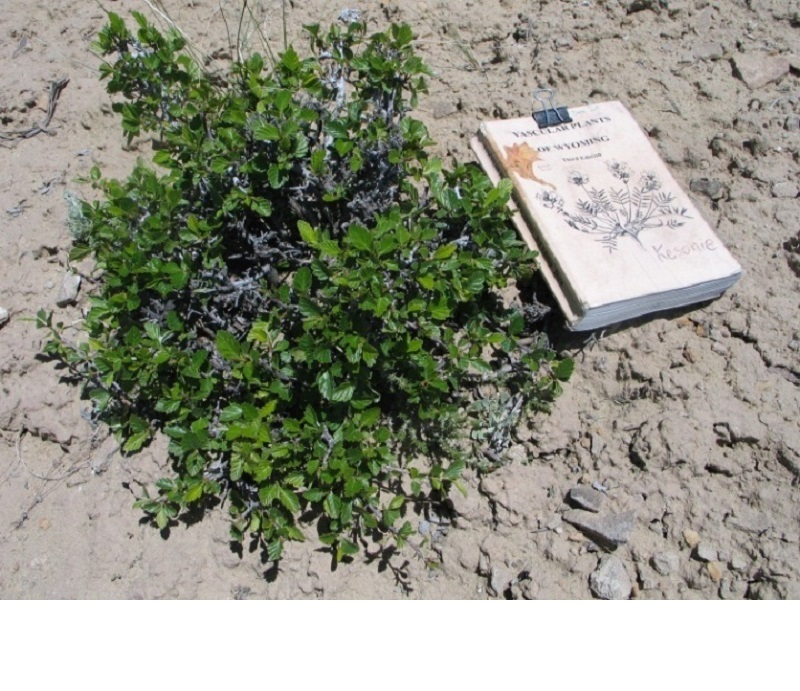 Photo of mountain mahogany beside book for comparison.