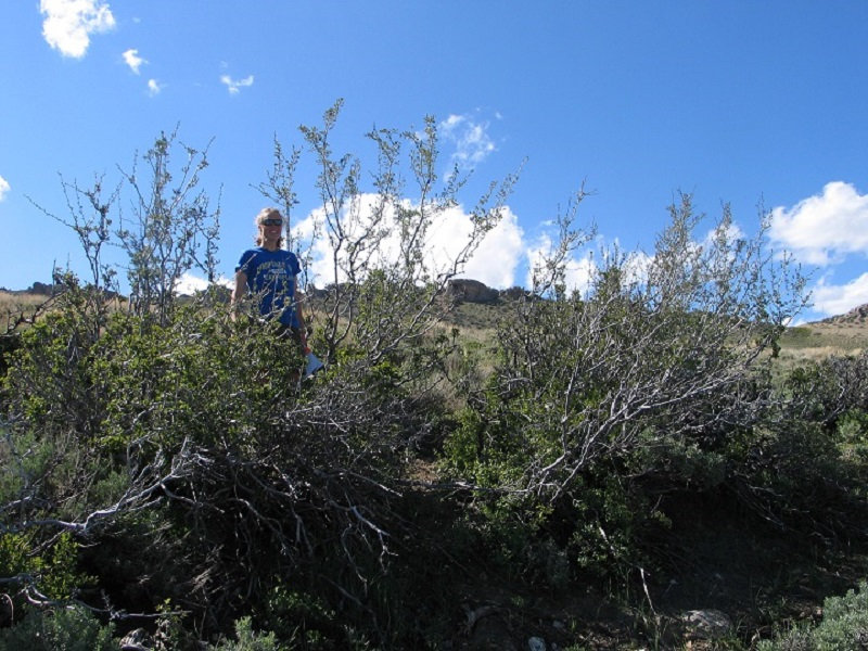 Photo of researcher taking measurements in mixed mountain shrub habitat.