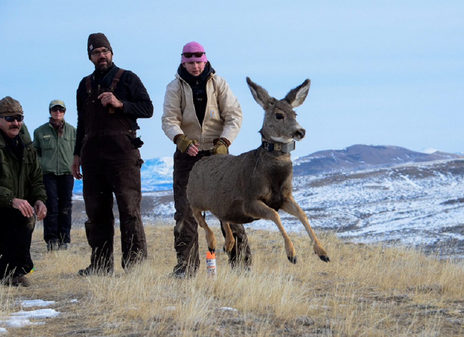 Photo of a mule deer being released after fitting with a GPS radio-collar.