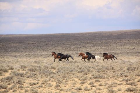 Wild Horses running near Buckhorn Flowing Well.